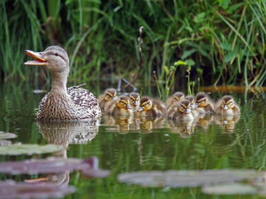 Mother duck and ducklings in a row