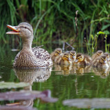 photo of mother duck and ducklings following her