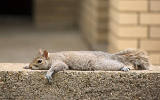 Squirrel at rest