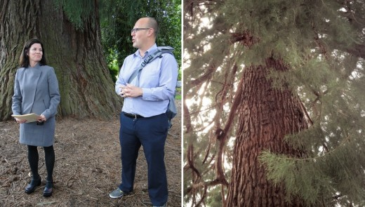 Karla Antonini and Dan Rutzick in front of giant sequoia on grounds of the downtown courthouse. These giant trees were planted in the 1880s.